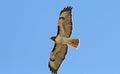 Hawk flying above blue sky atado rojo Imágenes de archivo libres de regalías