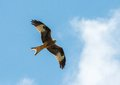 Hawk flying gorgeous in the sky Stock Photos