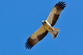 Hawk flying (pandion haliaetus) Royalty Free Stock Photography