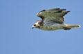 Hawk flying rojo atado en un cielo azul Fotos de archivo