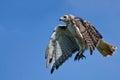Hawk flying rojo atado en un cielo azul Imagen de archivo