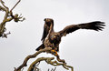 Hawk flying to tree branch delta bc Royalty Free Stock Image