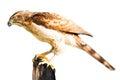 Hawk isolated Royalty Free Stock Photo