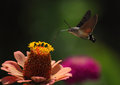 Hawk moth flying above zinnia Royalty Free Stock Images