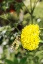 Hawk moth on marigold flower resting Royalty Free Stock Photos