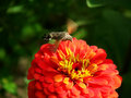 Hawk moths and zinnia flower Royalty Free Stock Photo