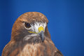 Hawk north american with brown feathers Royalty Free Stock Images