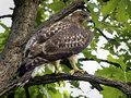 Hawk in oak tree Royalty Free Stock Photos