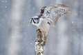 Hawk Owl in fly with snowflake during cold winter. Wildlife scene from nature. Storm with flight bird. Owl with open wings from Fi Royalty Free Stock Photo
