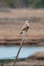 Hawk on a post resting weathered fence in wetlands area Stock Photos