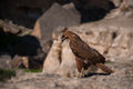 Hawk the s eye photo desert overlooking the sharp eyes Royalty Free Stock Photography