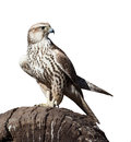 Hawk sitting on a tree stump isolated white background Stock Photos