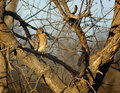 Hawk stare down a red shoulder in a tree looking for a meal Royalty Free Stock Images
