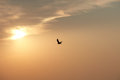 Hawk in a sunset sky Royalty Free Stock Photo
