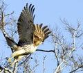 Falco volo