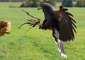Hawk talons a harris s lunges on to the glove of a trainer during a falconry course Stock Photography