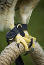 Hawk talons on perch Stock Image