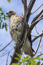 Hawk in a tree. Royalty Free Stock Photography