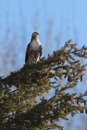 Hawk in tree a red tailed is perched on a the kootenai wildlife refuge Royalty Free Stock Photos