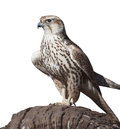 Hawk on a tree stump isolated white background Stock Photo