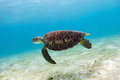 Hawksbill sea turtle Royalty Free Stock Photo
