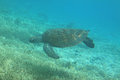 Hawksbill turtle at Lady Musgrave Island reef Royalty Free Stock Photo