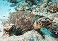 Hawksbill Turtle Resting On Th...