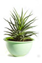 Haworthia Stock Photography