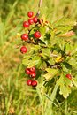 Hawthorn berries red among green leaves Stock Images