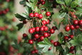 Hawthorn berries ripe on the tree Royalty Free Stock Photography
