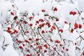 Hawthorn berries in snow in winter Royalty Free Stock Photo