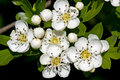 Hawthorn in blossom white of common Royalty Free Stock Photos