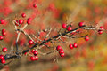 Hawthorn branch with berries autumn Stock Images