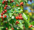 Hawthorn branch with red berries Royalty Free Stock Images