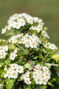 Hawthorn close up of bush flowers Royalty Free Stock Image