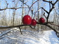 Hawthorn frozen berries of in the park in winter Stock Photography