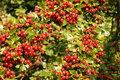 Hawthorn laden with ripe red berries. Stock Photo