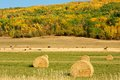 Hay bales and beef cattle in fall round of with a hillside colour the background Royalty Free Stock Images