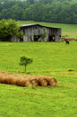 Hay bales stand near an old barn and cattle. Stock Images