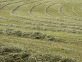 Hay raked into rows dry ready for collection Stock Photography