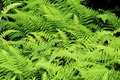 Green fronds of hay-scented fern in New Hampshire