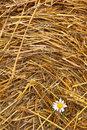 Hay texture and chamomile background stack with closeup Stock Photo
