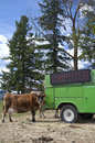 Hay on truck feeds cow. Royalty Free Stock Images