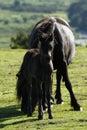 Haytor down a herd of dartmoor ponies grazing mares foals around the base rocks Stock Photo
