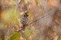 Through the haze crested barbet backside kruger national park south africa Stock Images