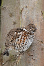Hazel grouse sitting branch Stock Image