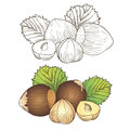 Hazelnut vector illustration and leaf Stock Photography