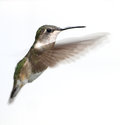 Hb female ruby throated hummingbird in flight Royalty Free Stock Photography