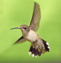 Hb female ruby throated hummingbird in flight Stock Photo