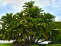 HDR  palm tree cluster Stock Photo